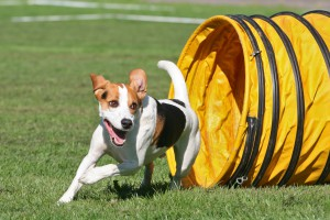 Agility - Beagle im Tunnel